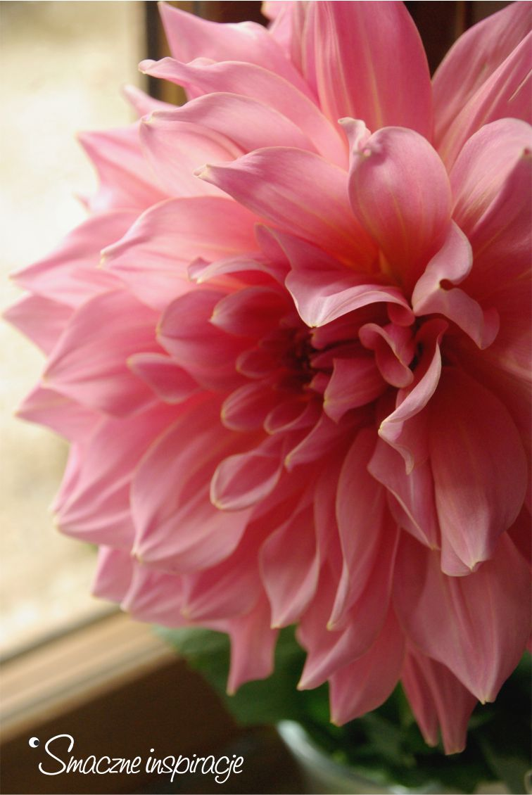 2_-dahlia-ottos-thrill